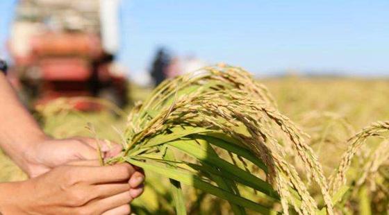 我国海水稻种植面积将扩大 1亿亩海水稻的目标有望实现