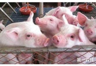引起猪咳嗽的四种常见疾病