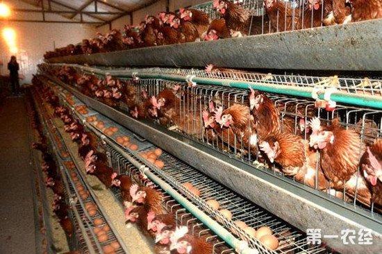 怎么节省蛋鸡的饲料消耗?减少蛋鸡不必要的饲料支出