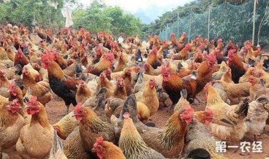 温度对鸡的影响 鸡舍温度控制注意事项