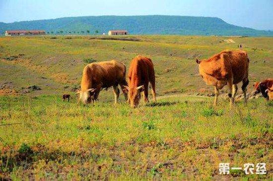 养殖黄牛要做好防病工作 黄牛常见疾病防治方法