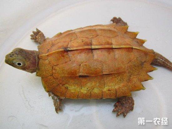 枫叶龟的食性以及人工饲养方法