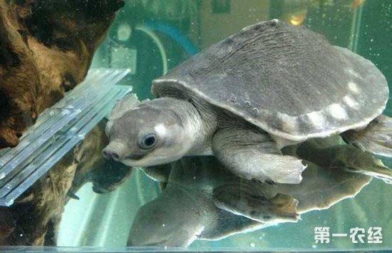 猪鼻龟好养吗?猪鼻龟的习性介绍