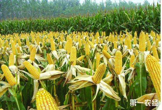 玉米穗腐病