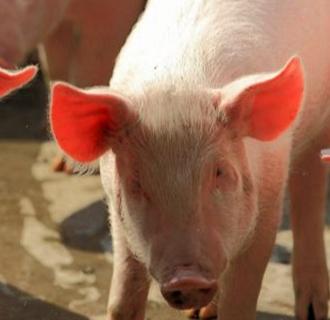 猪中暑的紧急治疗方法以及预防措施