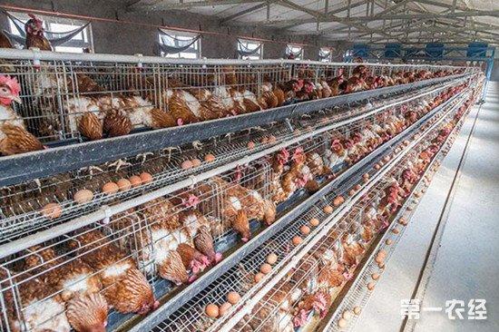 各季节气候对于蛋鸡产蛋量的影响以及饲养注意事项
