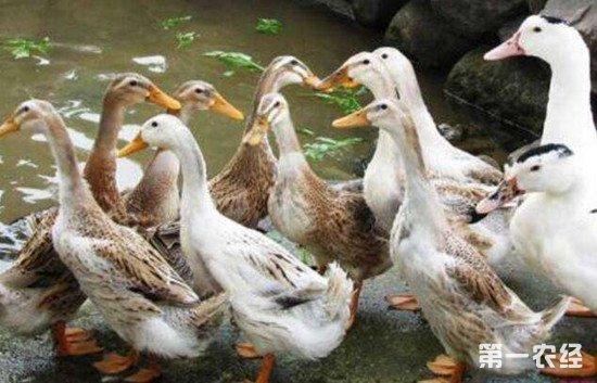 蛋鸭换羽什么时间合适?蛋鸭人工强制换羽的注意事项