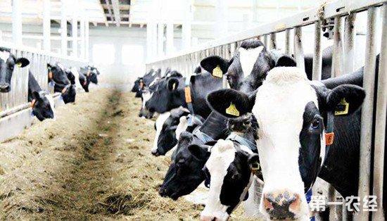 新手饲养奶牛的一些误区 这些误区要避免