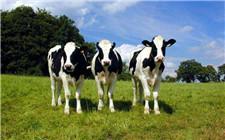 奶牛胃肠炎的症状有哪些?如何进行治疗