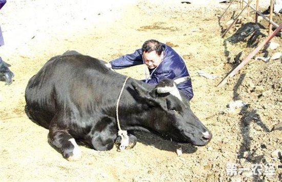 奶牛产后瘫痪怎么办?奶牛产后瘫痪的防治方法