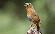 画眉鸟的饲养方法和饲养注意事项