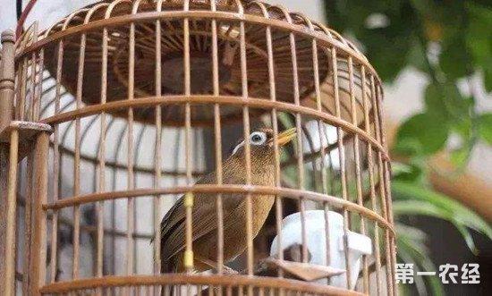 画眉鸟声音沙哑怎么办?画眉鸟沙哑的治疗方法
