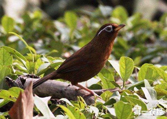 画眉鸟生病怎么办?画眉鸟的疾病防治方法