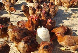 2019农村养鸡都有哪些补贴?农村养鸡补贴政策