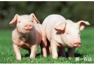 仔猪渗出性皮炎的症状以及防治措施