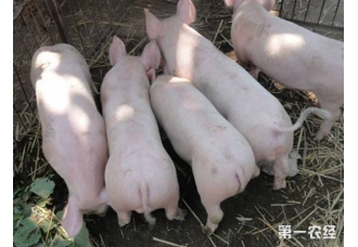 酒糟喂猪要注意什么?酒糟喂猪的注意事项