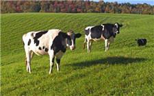 影响奶牛受胎率的因素有哪些?奶牛配种要注意这些