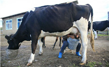 如何正确的给奶牛挤奶?奶牛挤奶的操作步骤