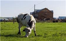 奶牛喂尿素会有臭味吗?给奶牛喂尿素的注意事项