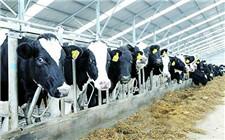 冬天如何防止奶牛乳房冻伤?奶牛乳房冻伤的治疗方法