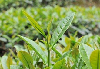 茶中所含的茶多酚含量有多少?茶多酚的作用