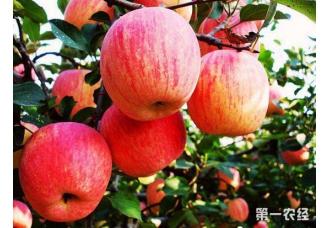 苹果泡斑病的症状以及防治措施