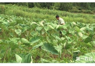槟榔芋发生软腐病的原因以及防治措施