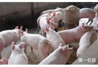 猪红斑病的原因以及防治措施
