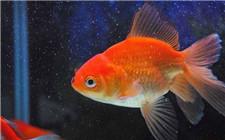 金鱼怎么安全过冬?冬天养金鱼的注意事项