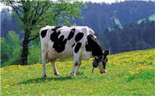奶牛产后虚弱怎么办?奶牛产后滋补方法