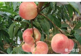 <b>桃树常见的虫害及其防治措施</b>