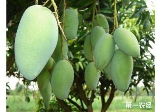 芒果常见的虫害及其防治措施