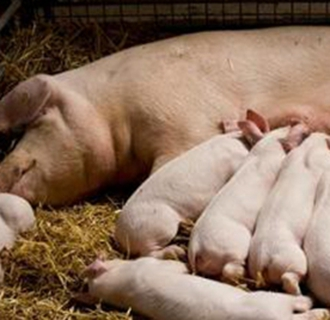 母猪难产时的助产方法及注意事项