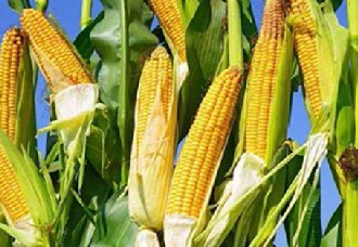 北京房山区窦店镇采用先进种植技术种植玉米