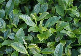 摩洛哥茶叶农残限量制定标准将于7月1日生效实施