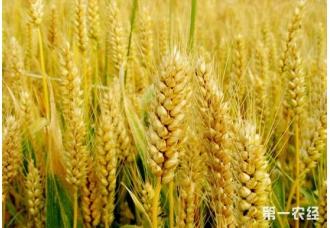 """<b>小麦节水保优技术:实现了""""一水过千斤""""目标</b>"""