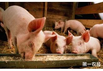 麸皮在母猪生产过程中的妙用