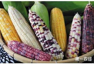 """糯玉米有望告别""""隔离种植""""生产难题"""