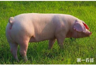 猪驱虫时要注意什么?猪驱虫的注意事项