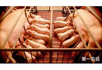 母猪为什么会出现产程过长的现象?