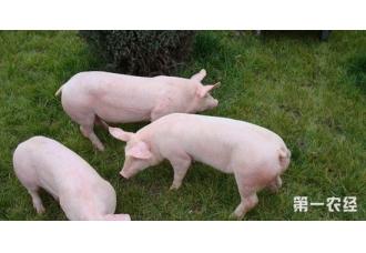 怎么预防母猪返情?母猪返情的预防措施