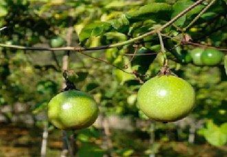 百香果树苗一棵多少钱?