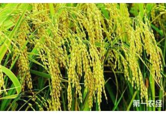 <b>41个水稻品种被认定为绿色超级稻</b>