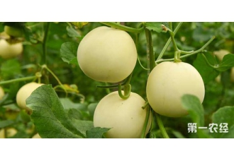 <b>全村发展香瓜种植产业,甜蜜果实帮致富</b>
