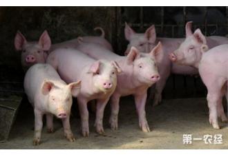 """东北猪价成""""网红"""",三省榜首轮番上岗"""