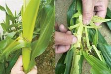 水稻型草地贪夜蛾3路并进入侵 威胁华北东北近2亿亩玉米