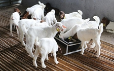 养羊业水深:羔羊价格疯涨,好几天凑不齐一车