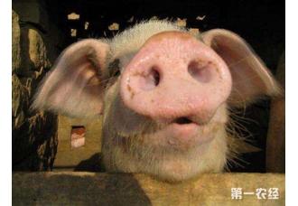 <b>贵州连续两天发生多起非洲猪瘟疫情</b>