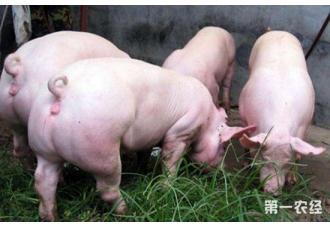 <b>初产母猪要怎么安抚?安抚母猪的方法</b>