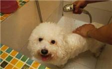 比熊犬多久洗一次澡?比熊犬的洗澡方法